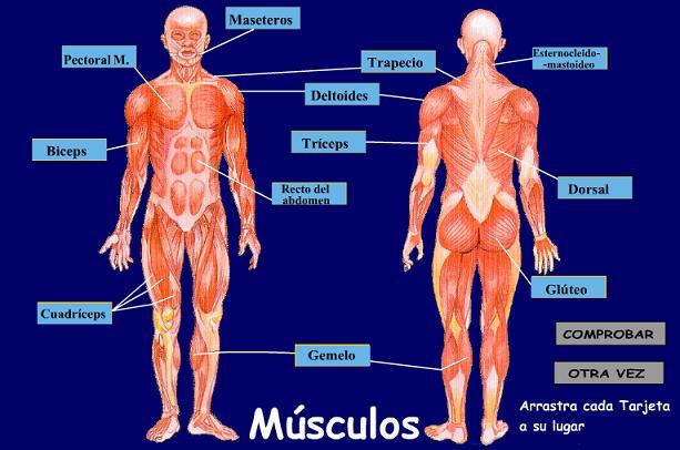 cuales son los principales musculos del cuerpo humano wikipedia
